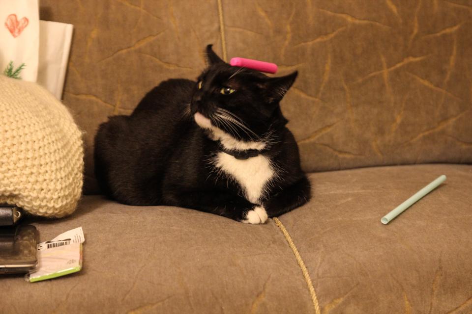 Katze mit Nerf-Pfeil auf dem Kopf