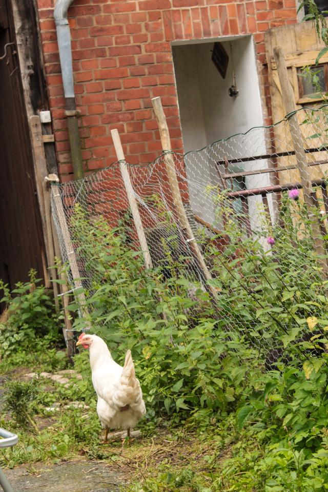 Weißes Huhn bricht aus
