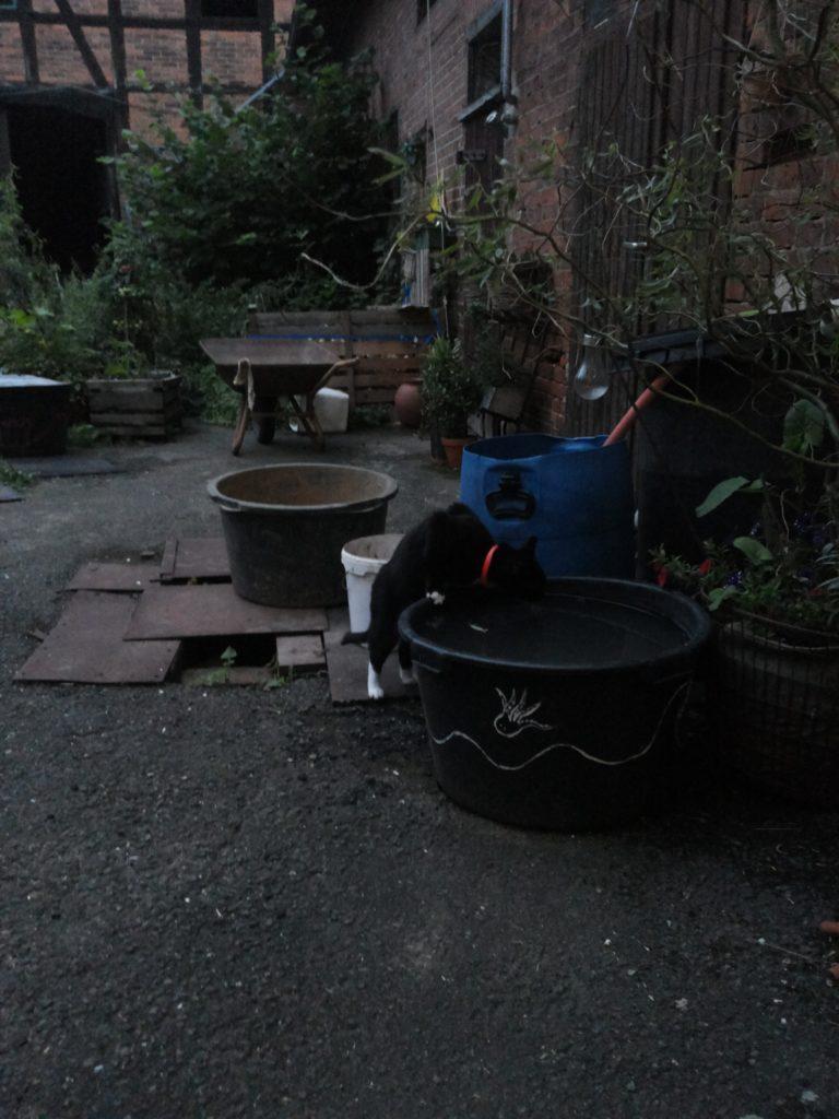 In der Dämmerung trinkt Piri aus einem Maurerkübel, der mit Wasser gefüllt ist.
