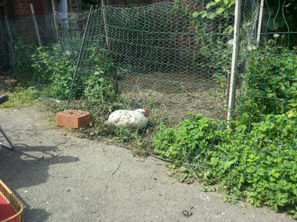 Ein weißes Huhn, Slatibartfaßt, liegt zwischen zwei Zäunen: Ein beweglicher und einer, der ihren Standardauslauf eingrenzt.