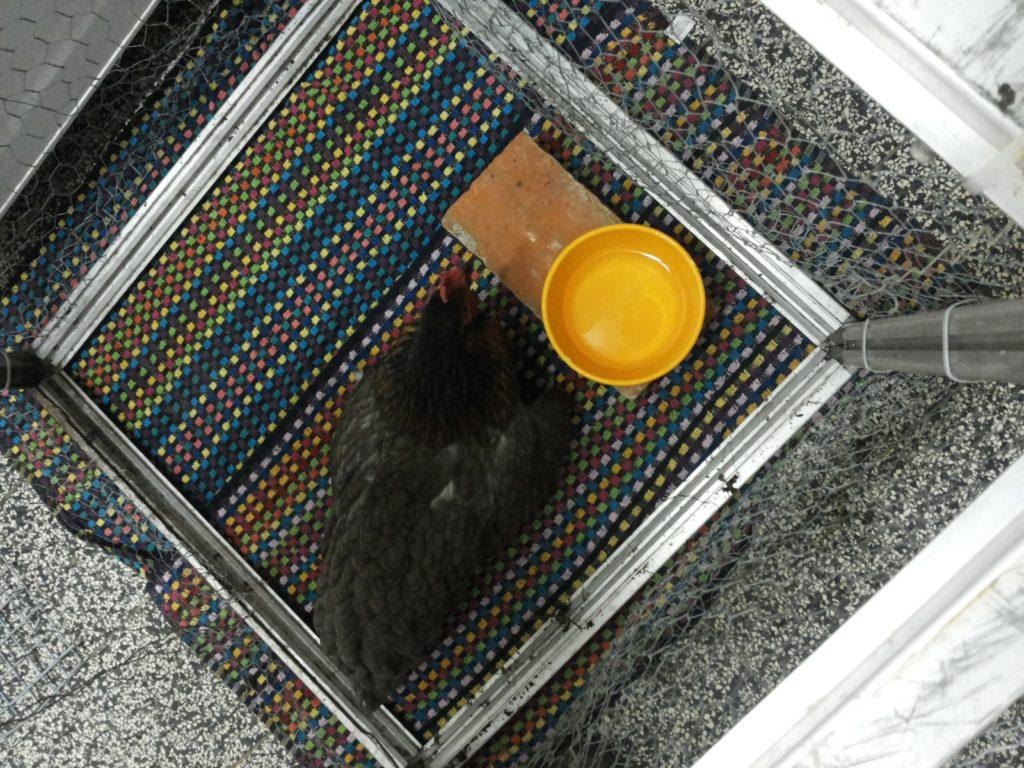 Putme in ihrem Quarantänekäfig auf Hndtüchern mit gelber Wasserschale direkt nach der OP.