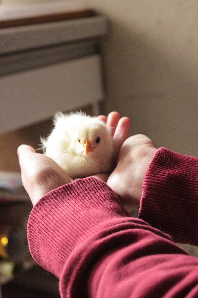 Kleines, gelbes Küken in der Hand