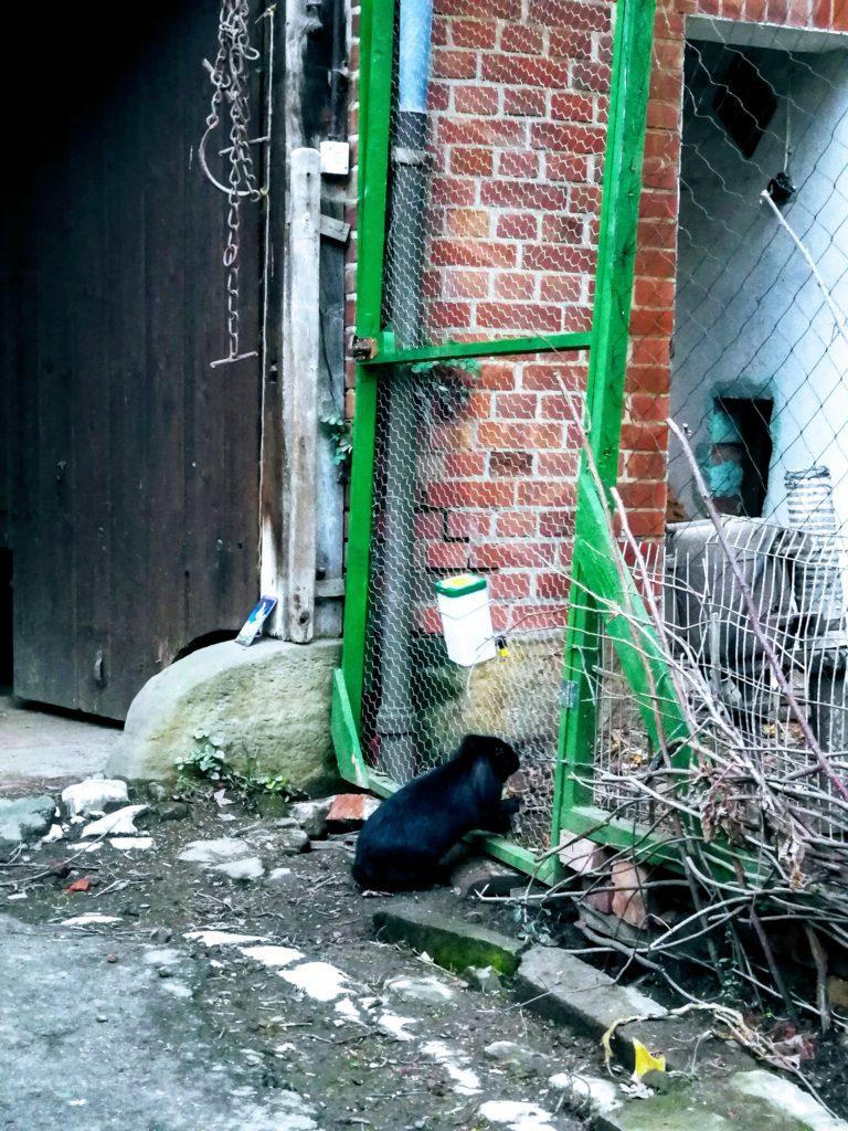 Ein schwarzes Zwergkaninchen mit Hängeohren untersucht die Tür zum Hühnergehege