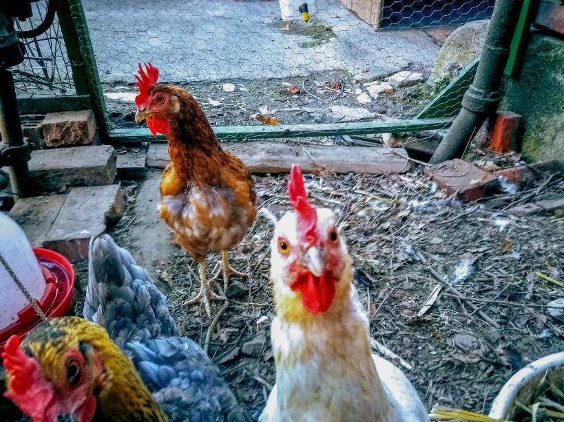 Unser Huhn Donatella sieht ganz zerrupft aus