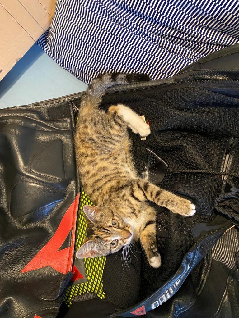 Eine kleine getigerte Katze wälzt sich auf einer Motorradjacke.